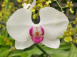 White and Red Orchid