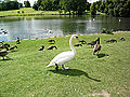 Swan with Geese
